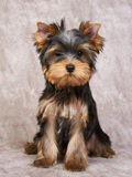 Puppy of the Yorkshire Terrier Royalty Free Stock Photos