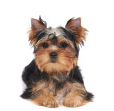 Puppy of the Yorkshire Terrier Stock Image