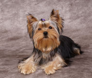 Puppy of the Yorkshire Terrier Royalty Free Stock Photography