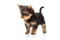 The puppy yorkshire terrier. On a white background Royalty Free Stock Photography