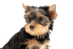 The puppy yorkshire terrier. Isolated on a white background stock photo