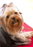 Puppy yorkshire terrier Royalty Free Stock Image