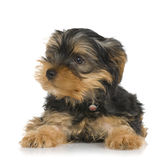 Puppy Yorkshire Terrier Stock Images