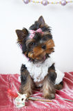 The puppy of the yorkshire terrier. In the celebratory order stock photography