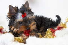 The puppy of the yorkshire terrier Royalty Free Stock Photography