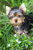 The puppy of the yorkshire terrier. In a grass about violets stock image