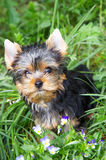 The puppy of the yorkshire terrier. In a grass about violets stock images