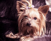 Puppy yorkshire terrier Royalty Free Stock Photography