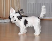 Puppy yorkshire terrier biewer. Black and white Royalty Free Stock Images