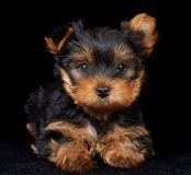 Puppy of the Yorkshire Terrier on black Royalty Free Stock Image