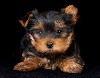 Puppy of the Yorkshire Terrier on black Stock Photo