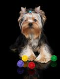 Puppy of the Yorkshire Terrier on black Stock Image