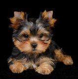 Puppy of the Yorkshire Terrier on black Royalty Free Stock Photo