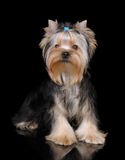 Puppy of the Yorkshire Terrier on black Royalty Free Stock Images