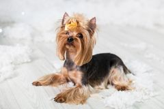 Puppy of the Yorkshire terrier in a Christmas studio Royalty Free Stock Images