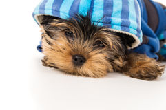 Puppy yorkshire terrier close-up Stock Image