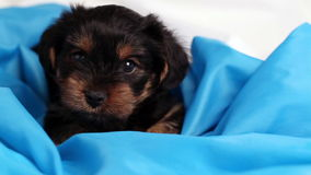 Puppy Yorkshire terrier close-up in blue cloth stock footage