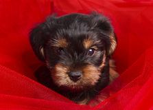 Puppy Yorkshire terrier close-up Royalty Free Stock Photography