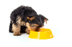 Puppy yorkshire terrier dog with food bowl Stock Images