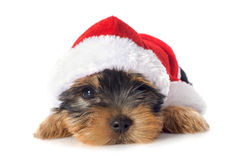 Puppy yorkshire terrier Stock Image