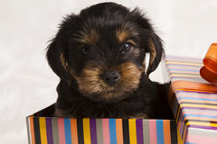 Puppy Yorkshire terrier in a gift box Stock Image