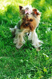 Puppy yorkshire terrier in a green grass Royalty Free Stock Image