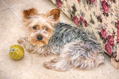 Puppy Yorkshire Terrier in hause Royalty-vrije Stock Afbeelding