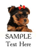 Puppy of yorkshire terrier isolated on white Royalty Free Stock Image