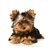 Puppy of the Yorkshire Terrier isolated on white royalty free stock images
