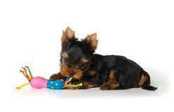 Puppy of the Yorkshire Terrier isolated on white. Background. It plays with a toy Royalty Free Stock Photos