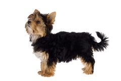 Puppy of the Yorkshire Terrier Stock Images