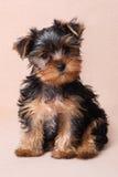 Puppy Yorkshire Terrier op een beige achtergrond Stock Afbeeldingen