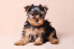 Puppy Yorkshire Terrier op een beige achtergrond Stock Afbeelding