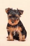 Puppy Yorkshire Terrier op een beige achtergrond wordt geïsoleerd die Royalty-vrije Stock Afbeelding