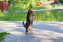 Puppy Yorkshire Terrier plays Royalty Free Stock Image