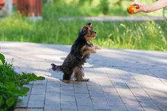 Puppy Yorkshire Terrier plays Stock Image