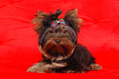 Puppy of yorkshire terrier with stripped bow Royalty Free Stock Photography