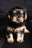 Puppy Yorkshire terrier in studio close-up Royalty Free Stock Photography