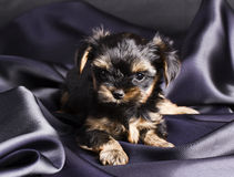 Puppy Yorkshire terrier in studio close-up Stock Photography