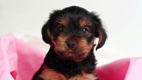 Puppy Yorkshire terrier in studio close-up stock video