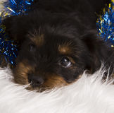 Puppy Yorkshire terrier in studio close-up Royalty Free Stock Image
