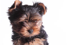 Puppy of a Yorkshire terrier stock images