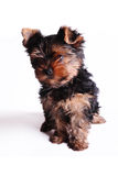 Puppy of a Yorkshire terrier Royalty Free Stock Image