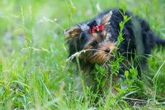 Puppy Yorkshire Terrier walking Stock Photos