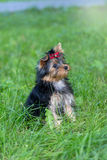 Puppy Yorkshire Terrier walking in the Park Stock Photos
