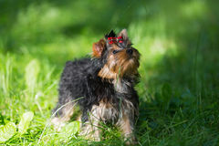Puppy Yorkshire Terrier walking Stock Images