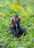Puppy Yorkshire Terrier walking Stock Photos