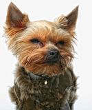 Puppy yorkshire terrier Royalty Free Stock Photos