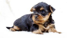 Puppy yorkshire terrier on the white background Royalty Free Stock Image
