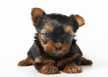 Puppy of the Yorkshire terrier on white background Royalty Free Stock Images